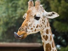 Giraffe in Oakland