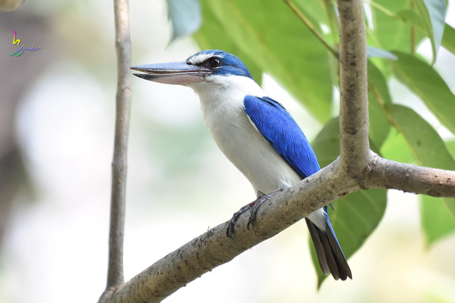 Collared_Kingfisher_7952