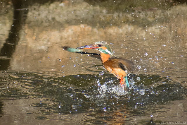 20180126-kingfisher-DSC_5708