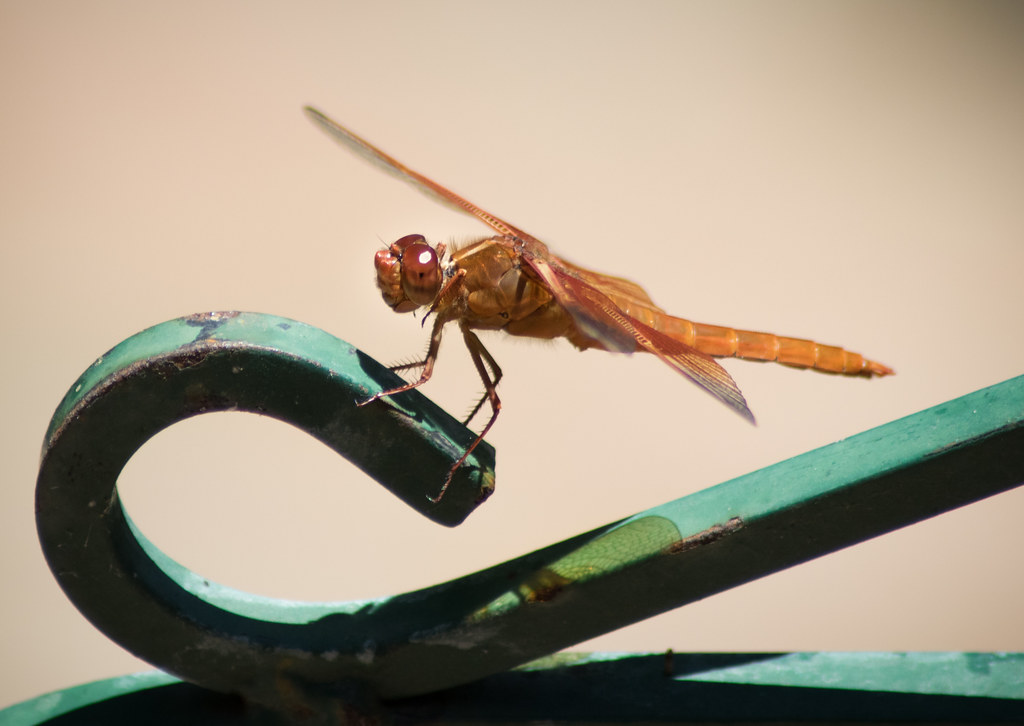 Dragonfly_wingshadow