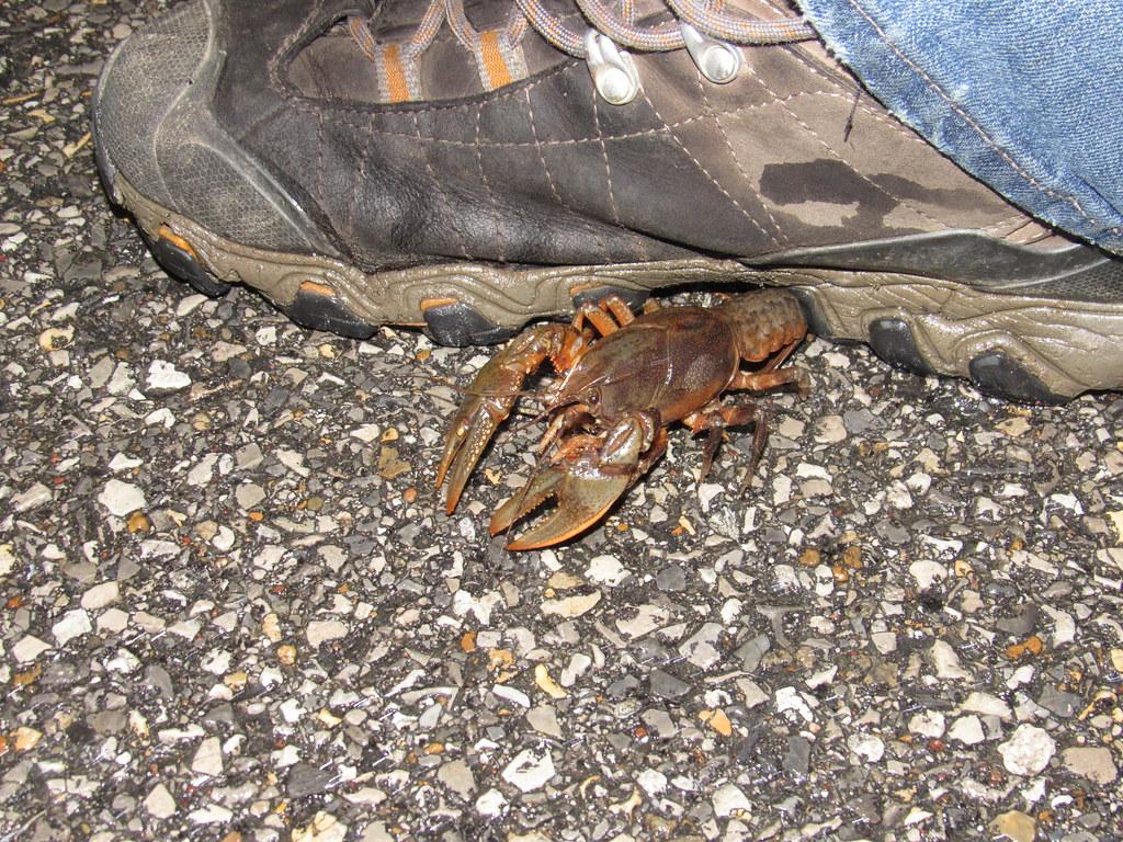 Painted Devil Crayfish