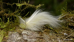 Caterpillar disguised as feather to escape hungry birds