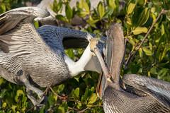 Pair of Brown Pelican in a Head Lock