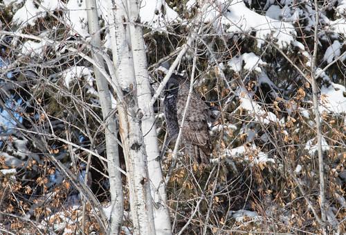 Great Gray Owl roosting in my neighborhood