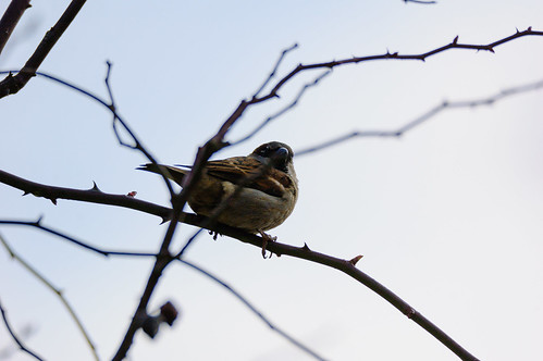 Male house sparrow looking around
