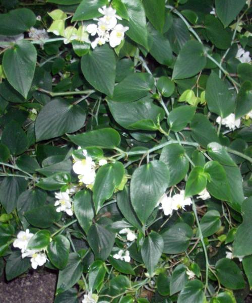 Begonia descoleana 27871517059_40a50e42df_o