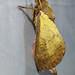 - unidentified Hepialidae, cf. Oxycanus sp.