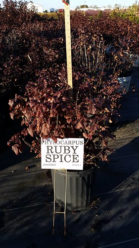 Physocarpus Ruby Spice 3 gal 15-18 | by Johnson Farms