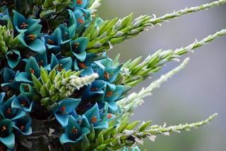 Flores color Cyan