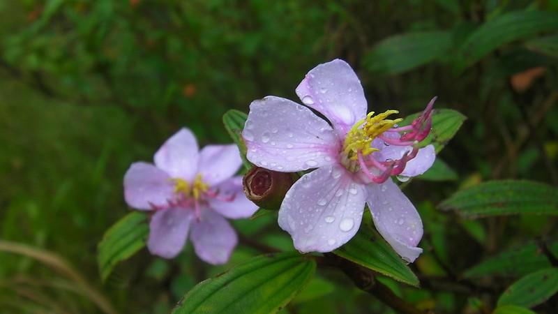 Yagumyum flowers