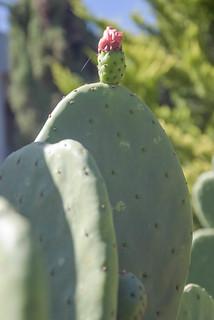Actualmente se exploran las posibilidades del mucílago de nopal para la construcción de sistemas de liberación de fertilizantes y otros compuestos de interés agrícola