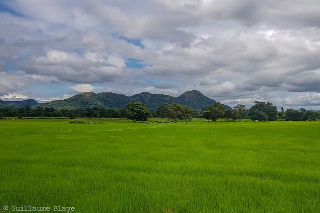 J6. Champs de riz