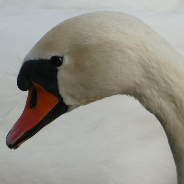 Swan, Stockholm