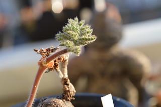 DSC_4460 Pelargonium triste  ペラルゴニウム トリステ