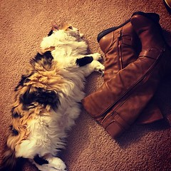 I think Zuzu chooses where to sleep in order to prove she's bigger: bigger than the laptop, bigger than the book bag, bigger than the boots. #fuzzy, #catsofinstagram