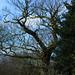 Old oak, Barley Field