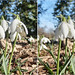 Snowdrops (Galanthus) at Ankerwycke (1) - stereo cross-view