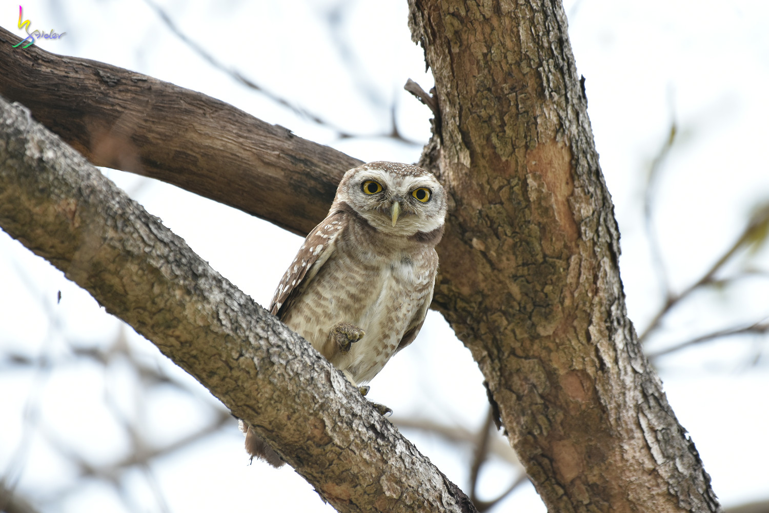 Spotted_Owlet_2444