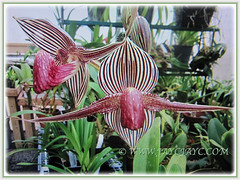 Mesmerising blooms of Paphiopedilum rothschildianum (Rothschild's Slipper Orchid, Gold of Kinabalu Orchid), Feb 24 2018