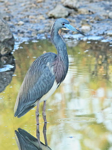Tricolored Heron 02-20180306