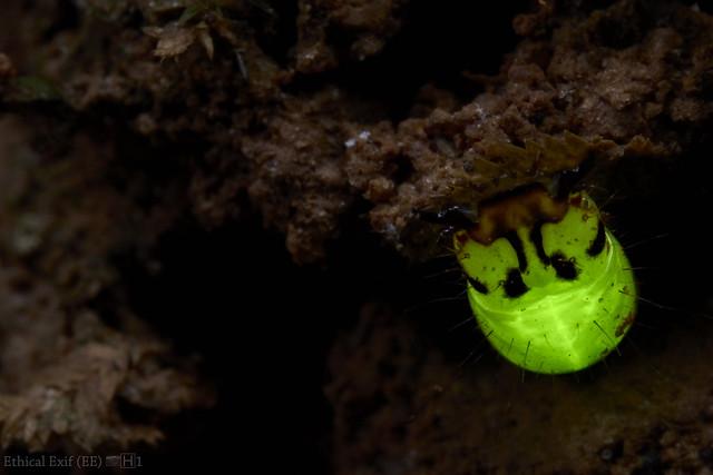 Predatory bioluminescent click beetle larva (Pyrearinus fragilis)