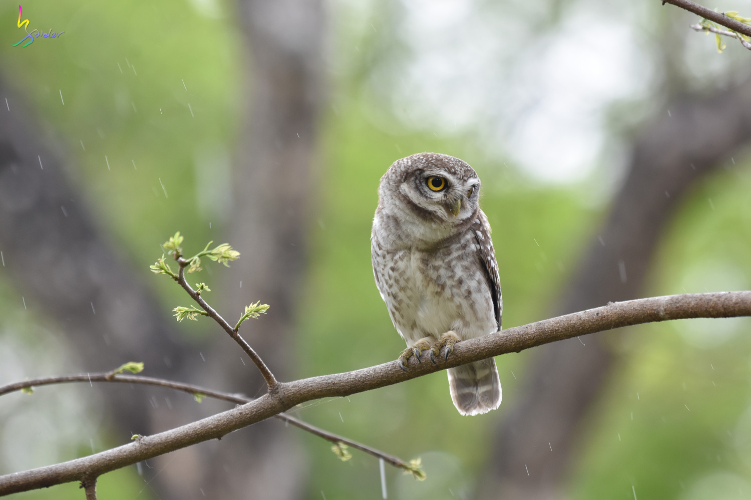 Spotted_Owlet_4054