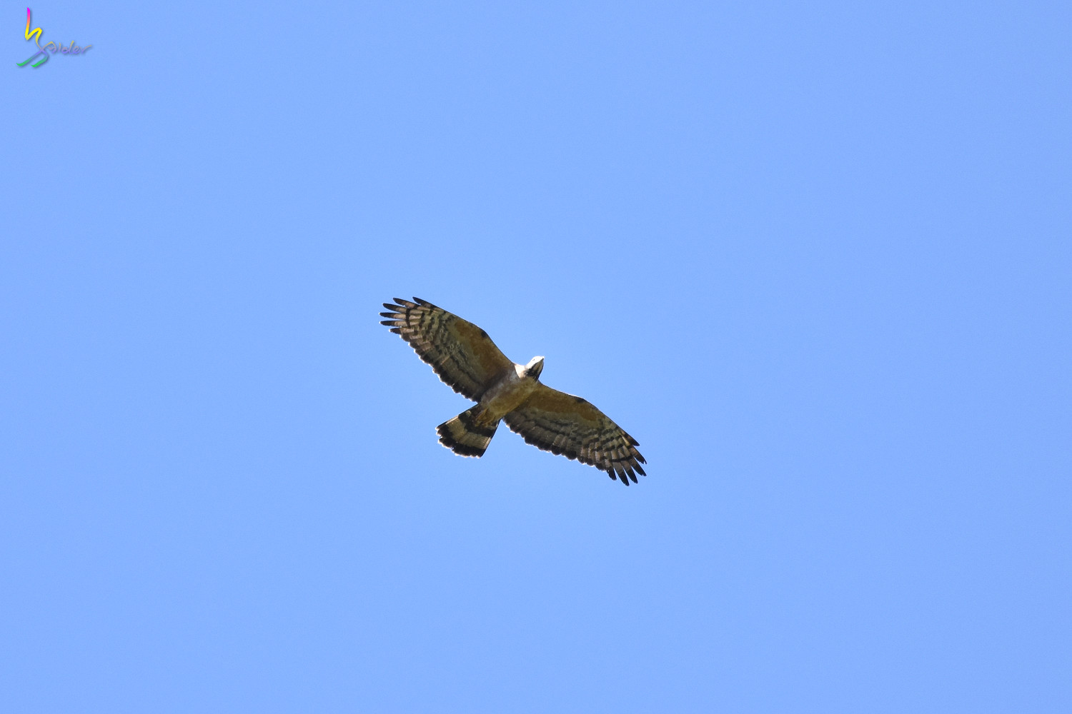 Honey_Buzzard_6528