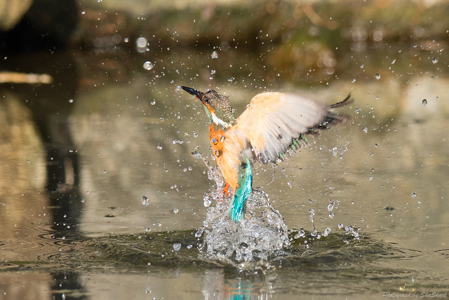 20180121-kingfisher-DSC_5128