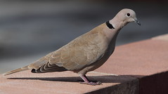 Eurasian Collared Dove- Hudson Beach