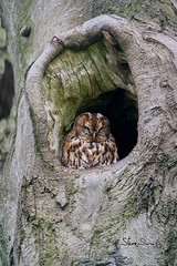 4905 Tawny Owl, roosting