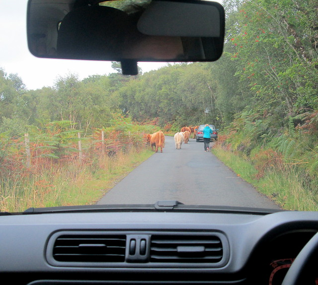 Highland Cows on Road!