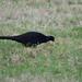 Black Pheasant or Mutant Common Pheasant (Phasianus colchicus var. tenebrosus)