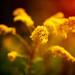 Goldenrod in the Morning Light
