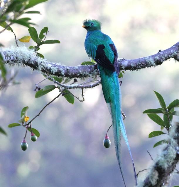 Resplendent Quetzal male / Quetzal resplendissant male / Pharomachrus mocinno ( Serie 1 / 3 )