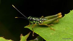 Grasshopper, Galidacris sp., Ommatolampidinae