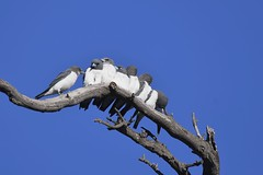 White- breasted Woodswallows  ( its a long wait for food )