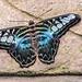 Clipper Butterfly RHS Wisley 08 February 2018 (26)
