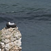 Herring Gull in tyre