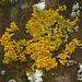 Lichen yellow