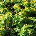 UK - London - Kew - Kew Gardens - Kew Palace - Garden - Winter aconites