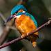 Kingfisher waiting