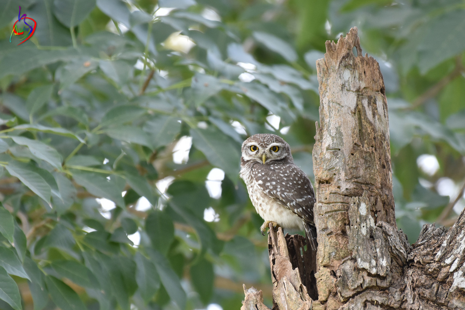 Spotted_Owlet_3882