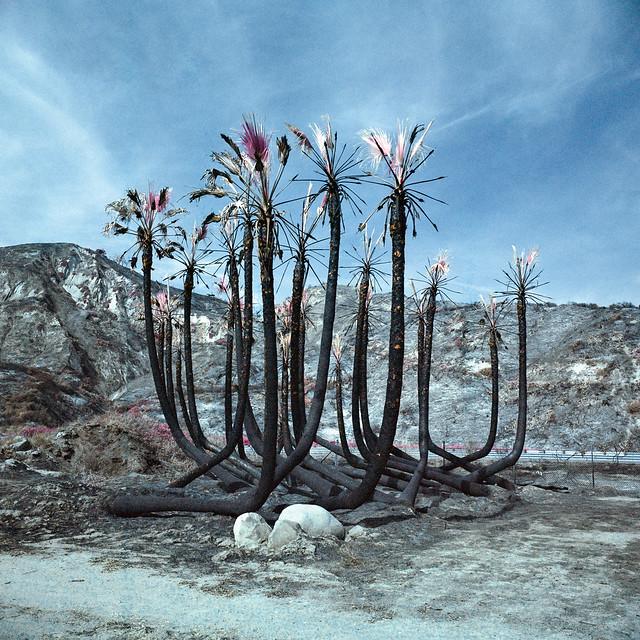 burnt palms (color infrared). faria beach, ca. 2017.
