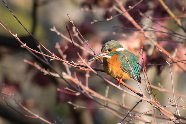 20180129-kingfisher-DSC_6479