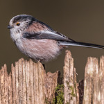 Long tailed tit at Millers wood