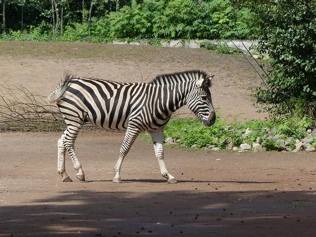 Chapman-Steppenzebra, Zoo Dresden