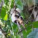 Phalangeridae: Spilocuscus papuensis (Waigeo Cuscus) 3