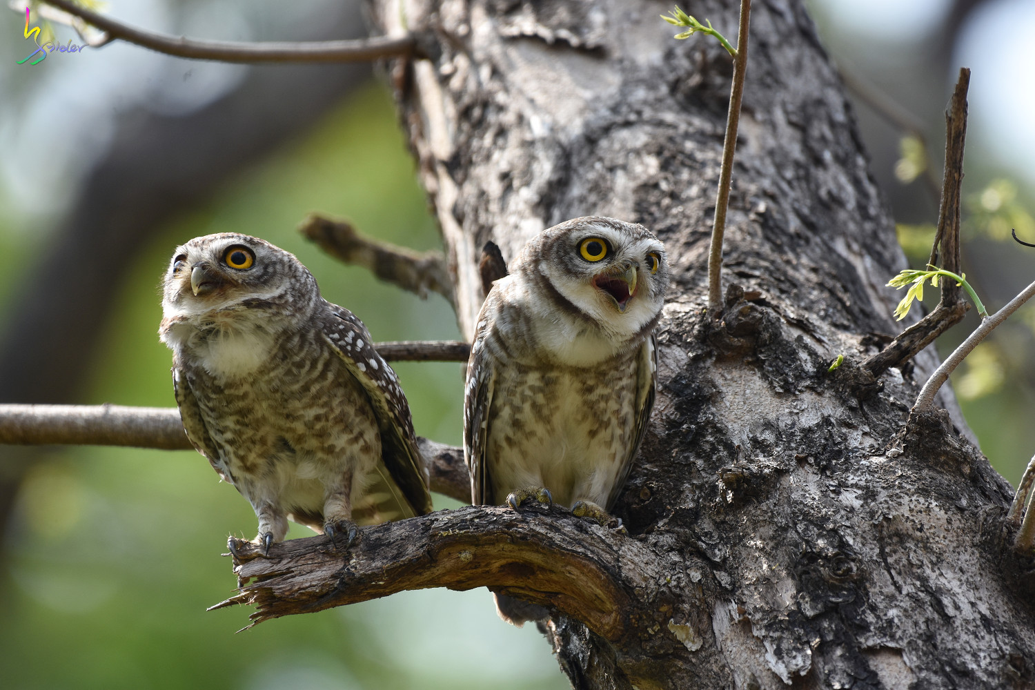 Spotted_Owlet_4620