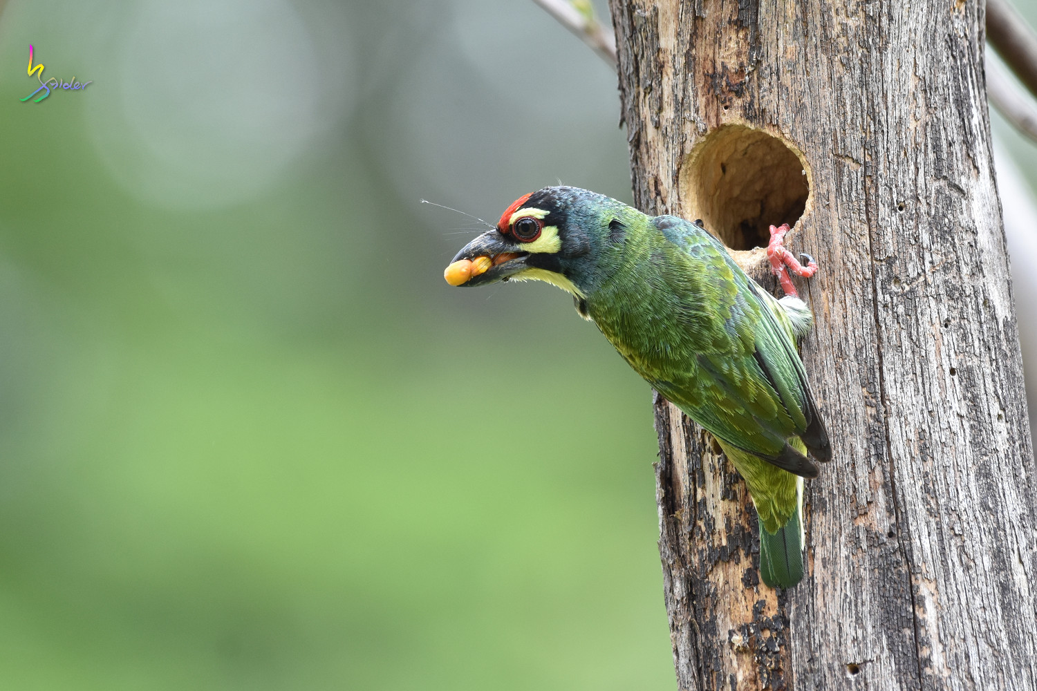 Coppersmith_Barbet_8378