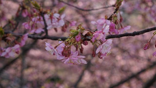 DSC07113三浦海岸桜まつり